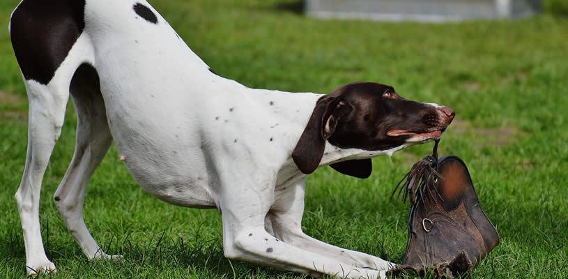 Destructive Dog Behaviour